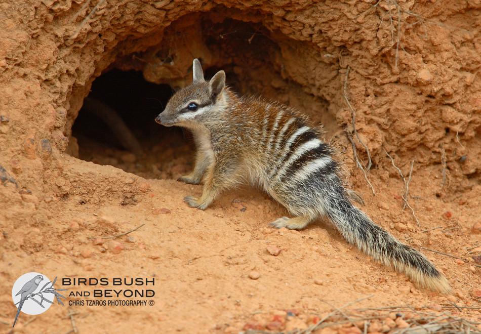 Numbat (Myrmecobius fasciatus)3599 CT.jpg