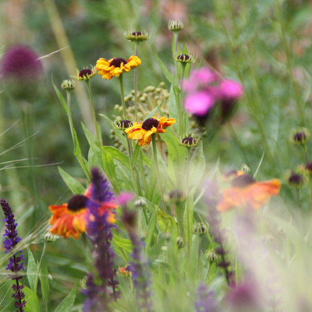 Heleniums, dianthus and salvias
