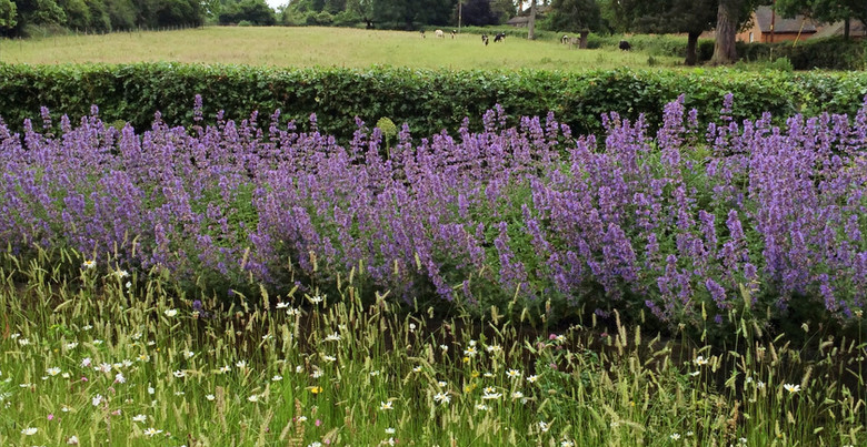 The meadow with Nepeta hedge and field beyond.