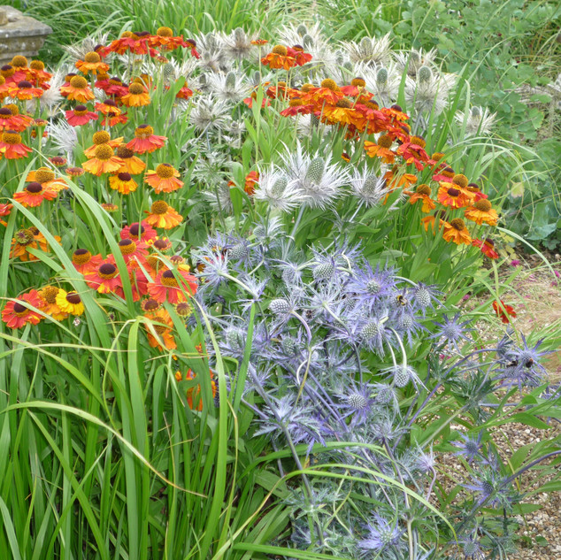 Heleniums with eryngiums