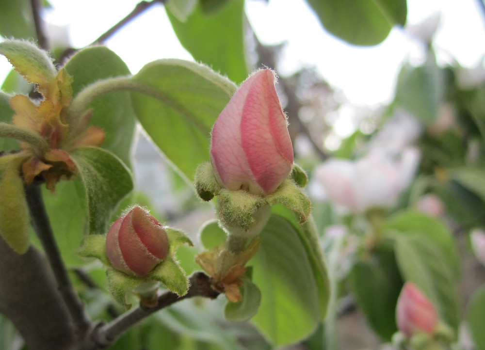 Furled pink Quince bud
