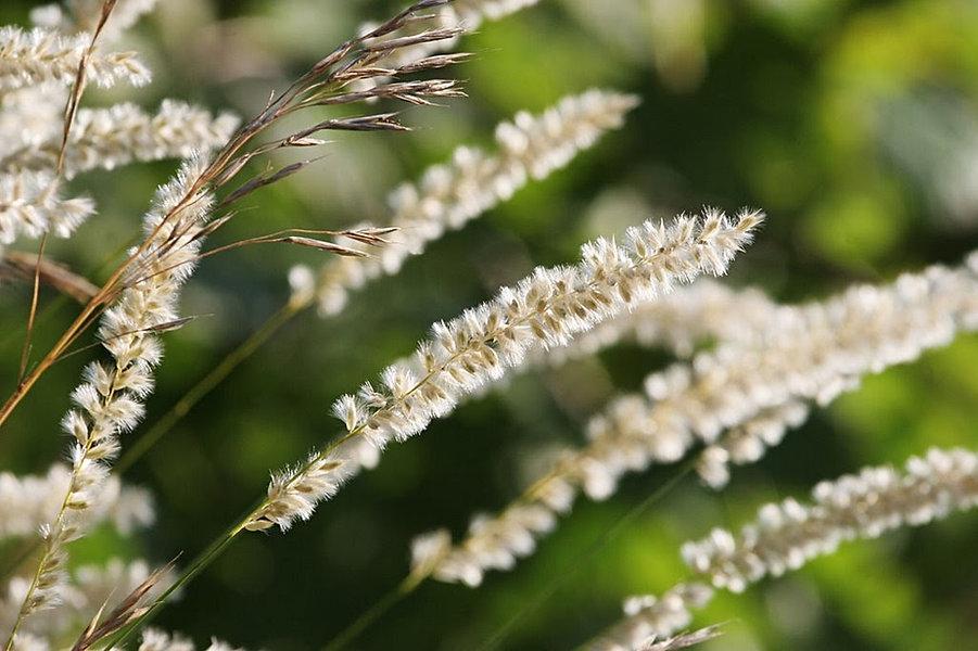 Melica ciliata.jpg