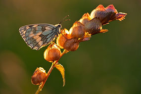 Yellow rattle seed pod with butterfly