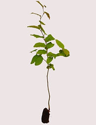 carpinus-betulus-hornbeam.jpeg