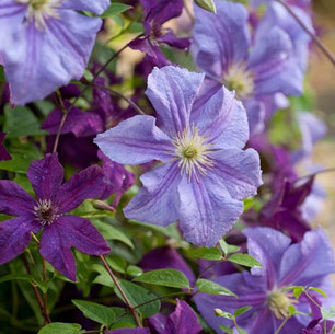 Clematis 'Perle d'Azur with  clematis 'Etoile Violette'