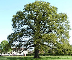 Large oak Hanley Swan village green
