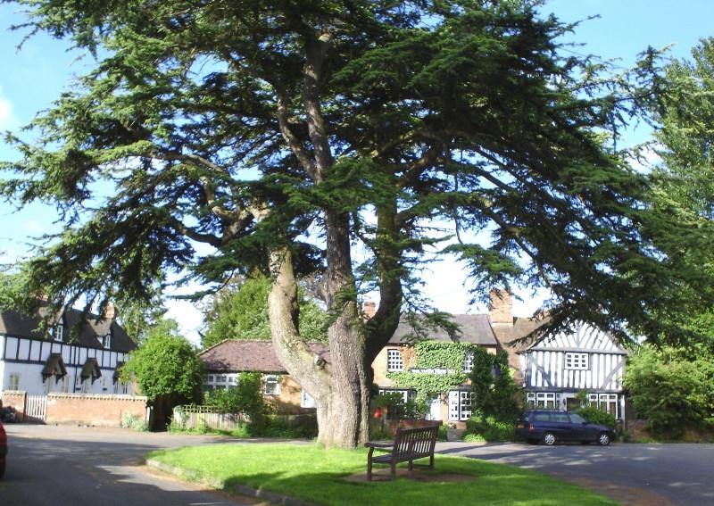Hanley Castle ancient cedar