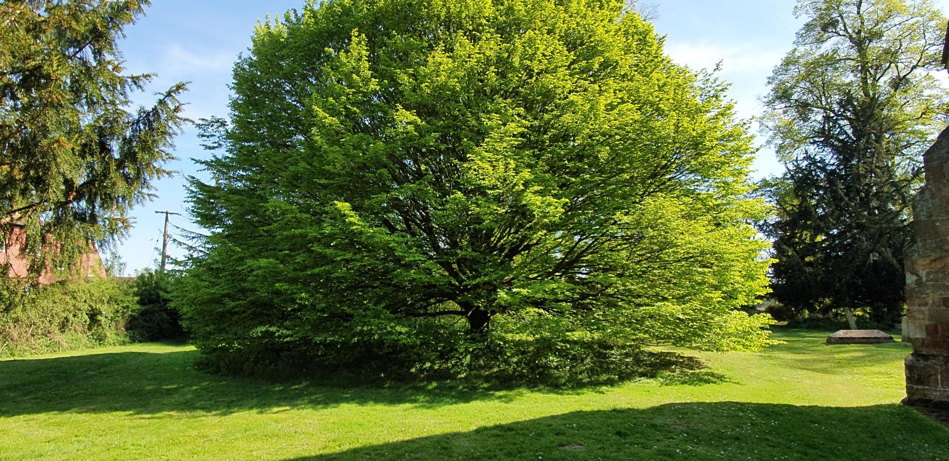 Hanley Castle Hornbeam Tree