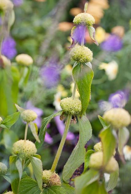 Phlomis russeliana buds