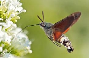 Hummingbird moth feeding on flower