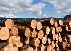 O poder da madeira de Pinus