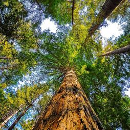 The Redwood