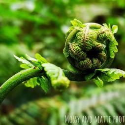Green Unfurling fern.