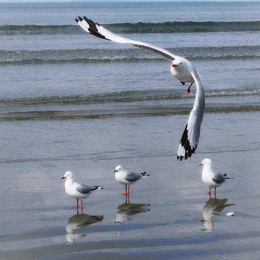 Simply Seagulls