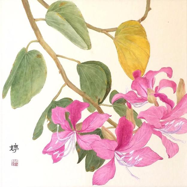 Bauhinia 洋紫荊