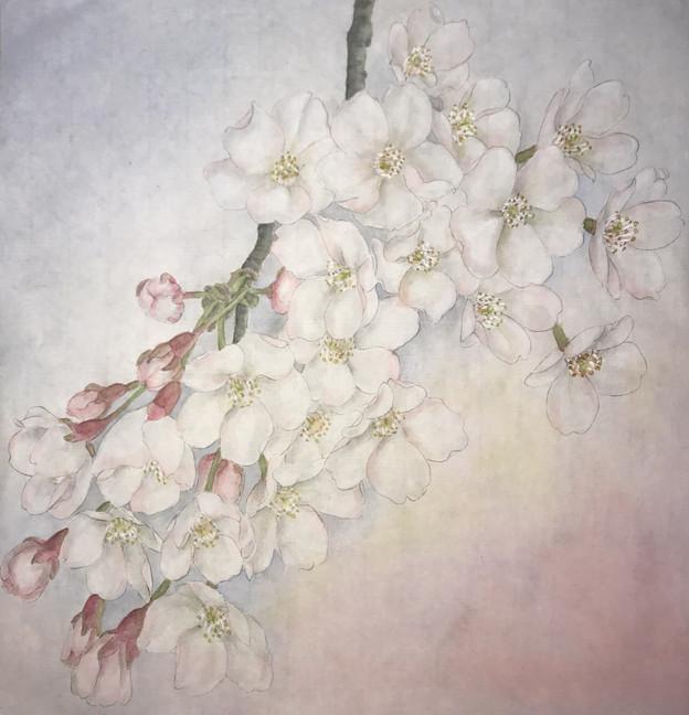 Cherry 粉櫻
