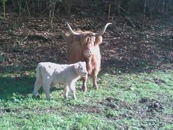 Primo vitello bianco nato in allevamento