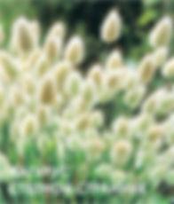 Лагурус Степной Странник.jpg