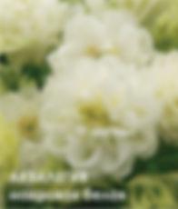 Аквилегия махровая белая ГАВРИШ 5 шт..jp