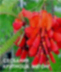 Сесбания крупноцветковая МЕГОНГ.jpg
