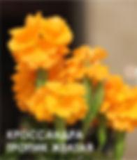 Кроссандра тропик желтая.jpg