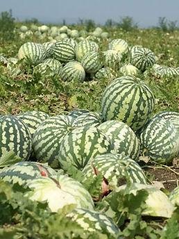 Удобрения для бахчевых культур: арбузов, дынь, тыквы