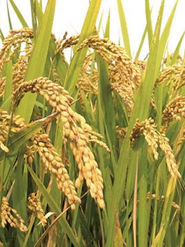 Удобрения для выращивания риса