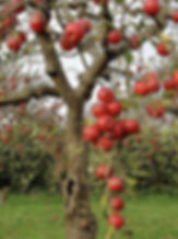 Удобрения для яблоневых садов идругих плодовых культур