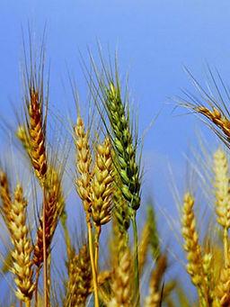 Удобрения для зерновых культур: пшеницы, ржи, овса