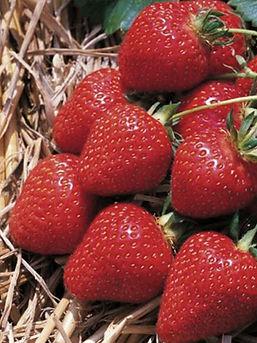Удобрения для выращивания ягодных культур: земляники, клубники, смородины