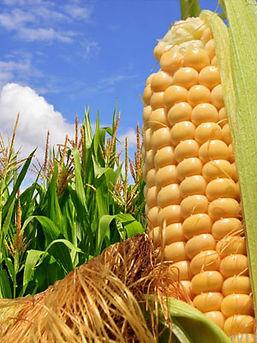 Удобрения для кукурузы исорговых культур