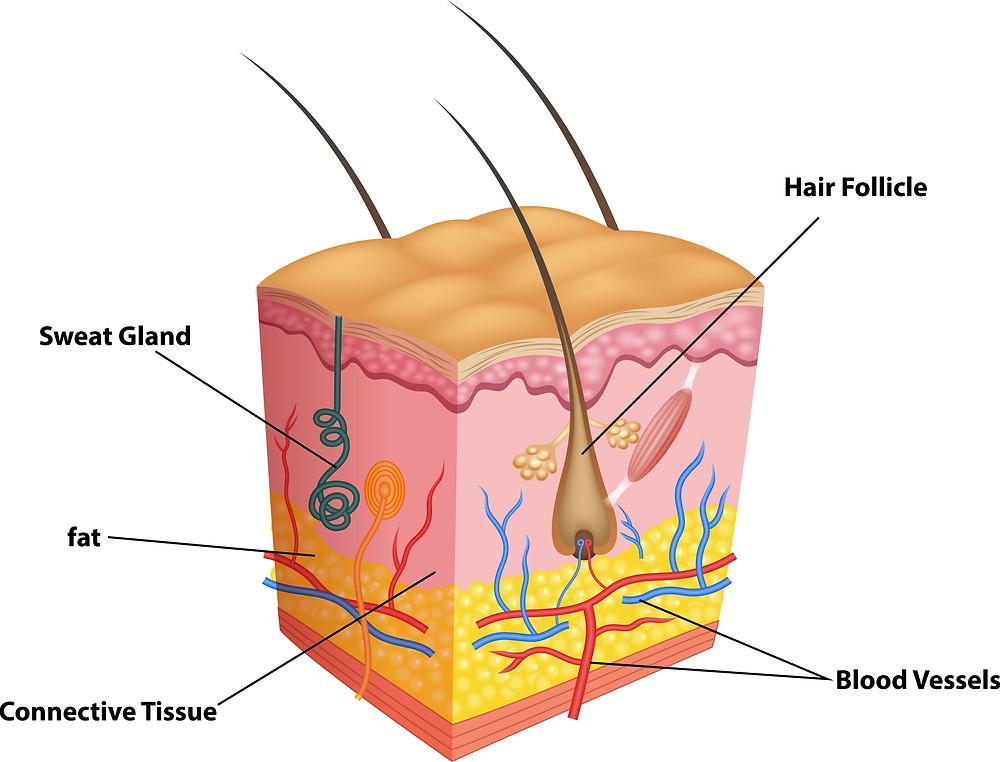 頭皮結構圖