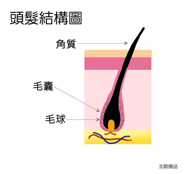 頭髮結構圖