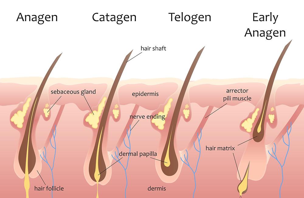 頭髮生命週期