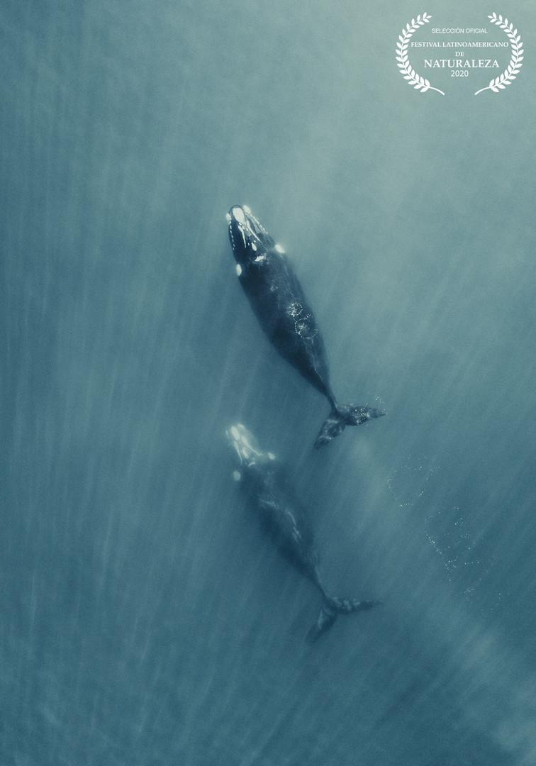 Ballenas Francas Migrando