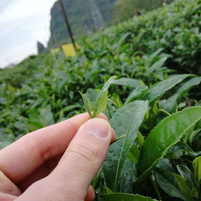 The origin of Tea