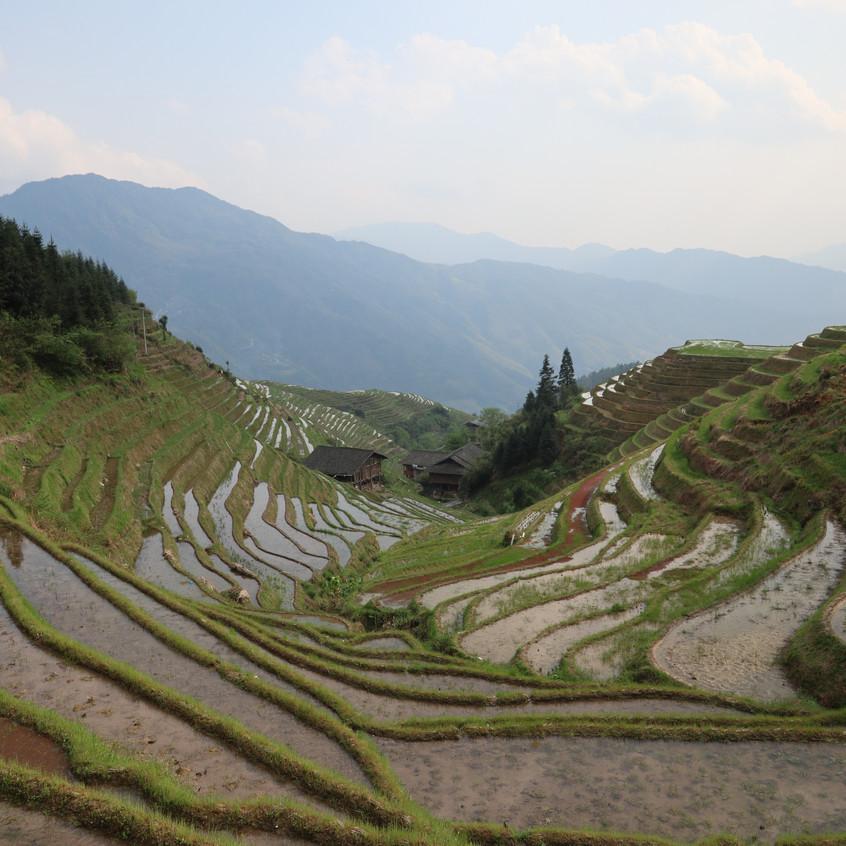 Ferre China Groep T Rice Fields
