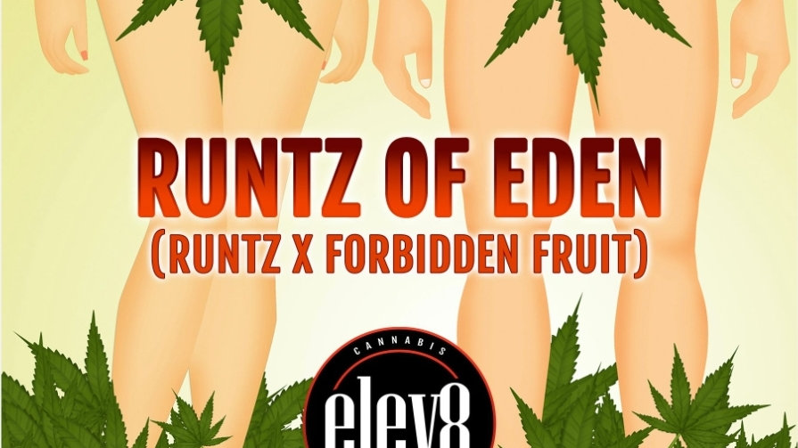 elev8 seeds- Runtz of eden