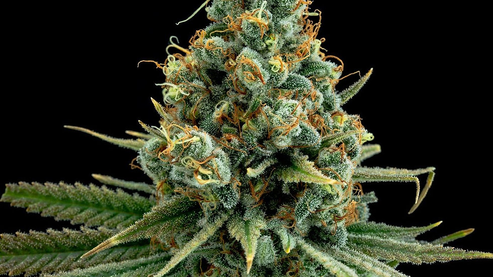 Elev8 seeds- Sour patch kiss