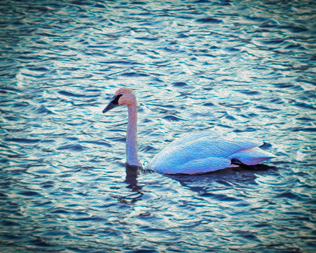DonS Trumpeter Swan 2