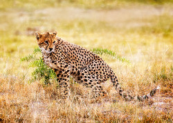 JackyeM-Serengeti cheetah