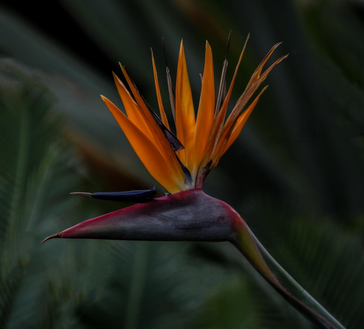 ElaineS-BirdOfParadise