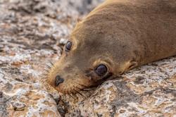 GlennJ - Brown Eyes of Galapagos