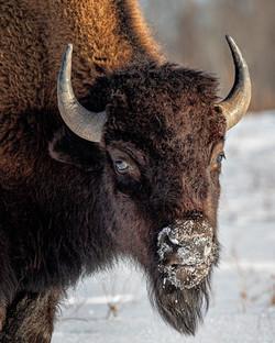 NeilM - Plains Bison