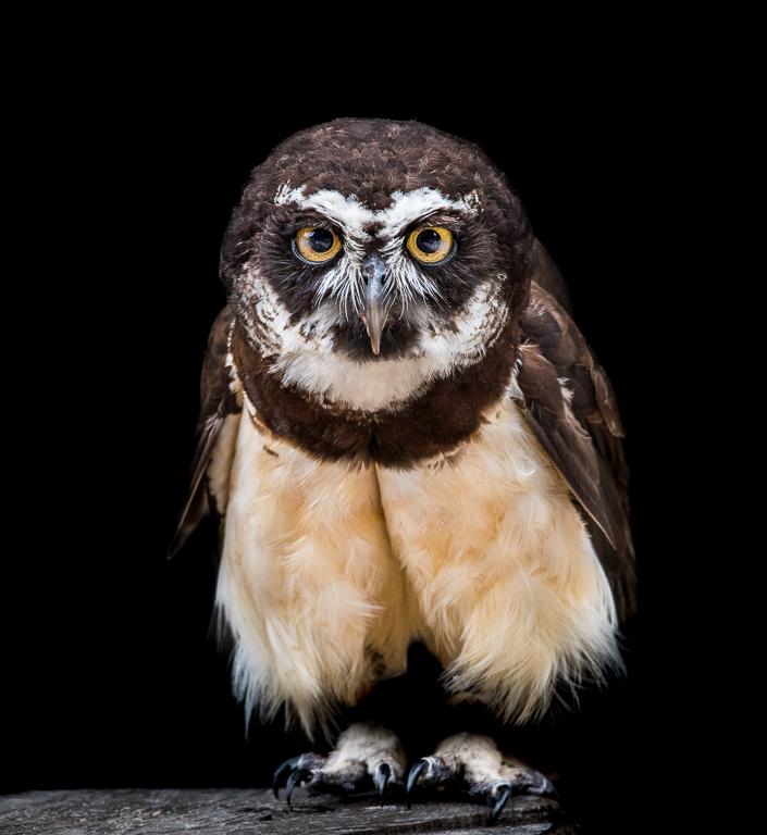 PaulP - Owl on Tree Stump