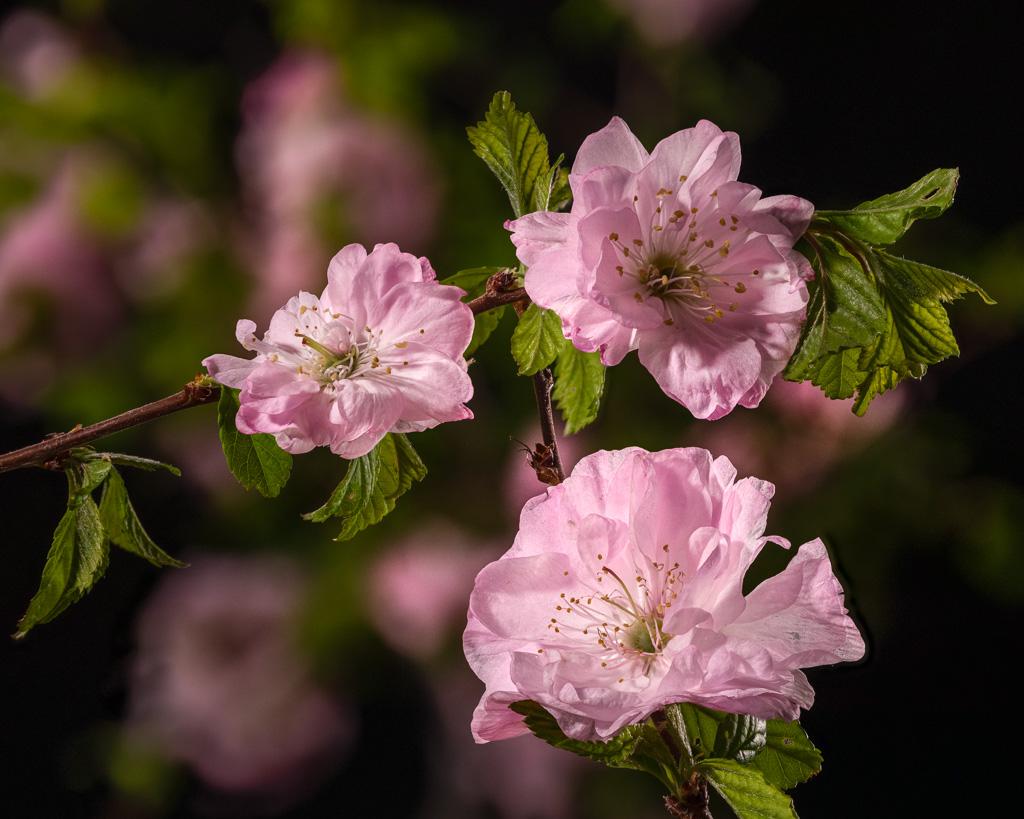 NeilM - Spring Blossums