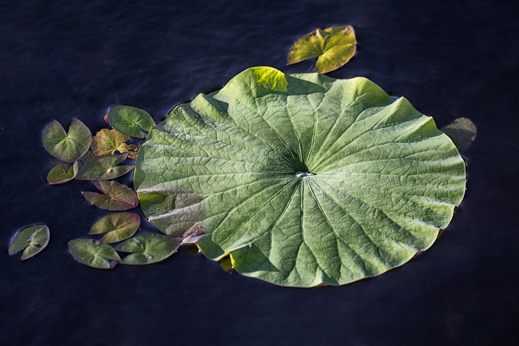 AnnieB Pond Leaf