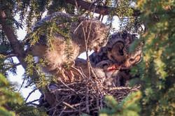 GlennJ - Great Horned Owl Chicks2