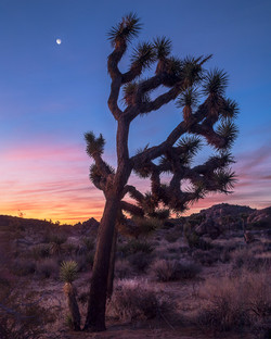 NeilM - Joshua Tree Sunrise