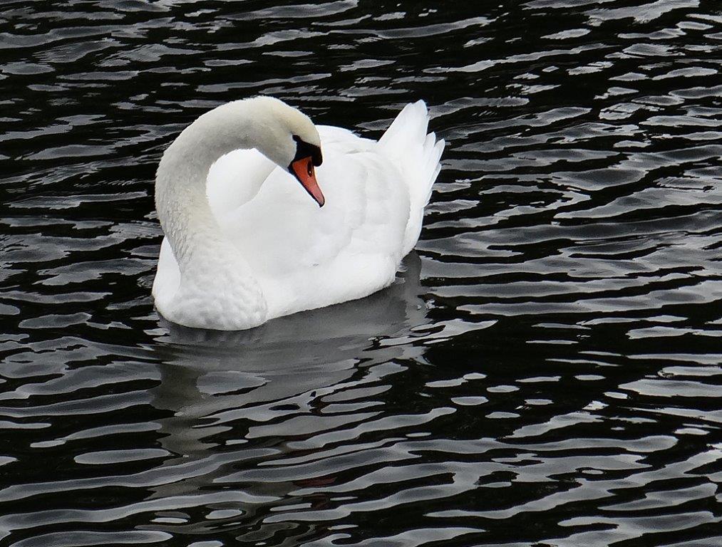 DonW - PSA (Perfect Swan Again)